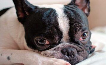 perro de raza Bulldog Francés tumbado
