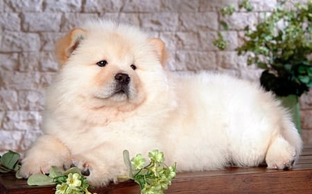 cachorro de chow chow