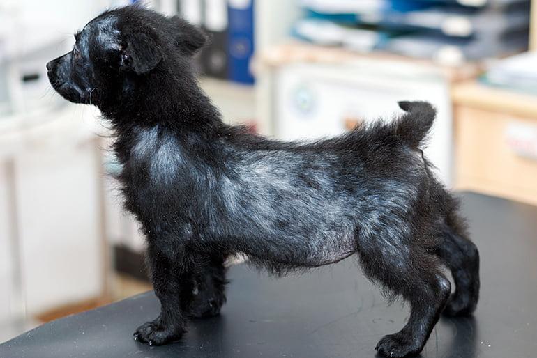 cachorro-con-caída-de-pelo
