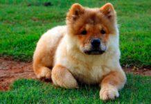 cachorro-de-raza-chow-chow