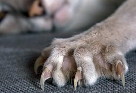 gato sacando uñas