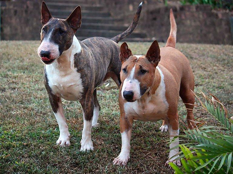 pareja-de-perros-bull-terrier-inglés