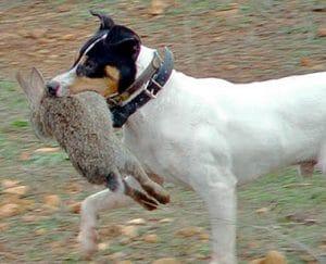 perro bodeguero andaluz cazando