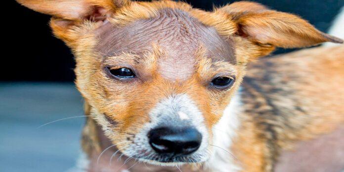 perro-con-calvas-sin-pelo