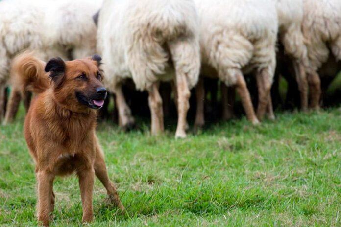perro-pastor-vasco