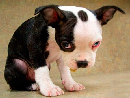cachorro melancolico
