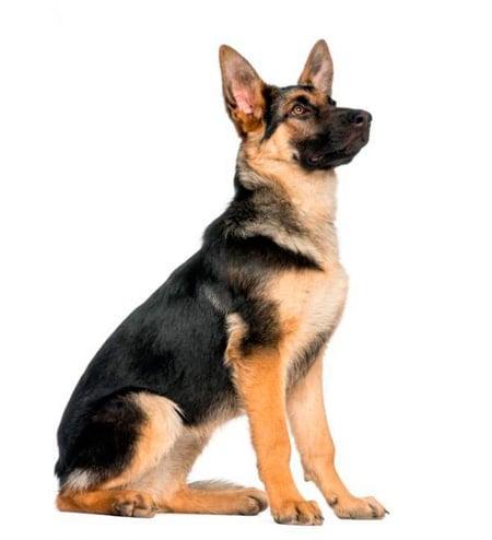 cachorro de Pastor Aleman sentado