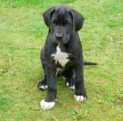 Cachorro de Dogo Alemán