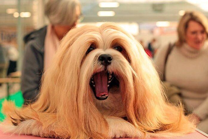 Lhasa-Apso-bostezando-en-una-exposición-canina