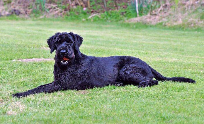 Riesenschnauzer-allongé sur l'herbe