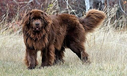 Terranova perro2