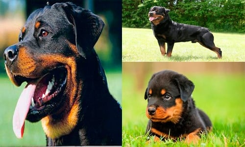 rottweiler adulto con su cachorro