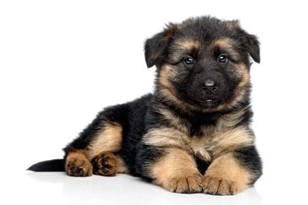 cachorro de pastor alemán de pelo largo