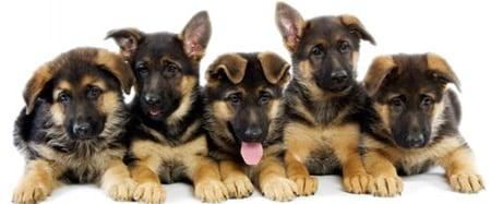 foto de cachorros de pastor alemán