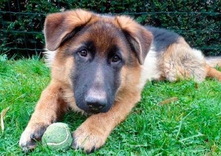 cachorro jugando con la pelota