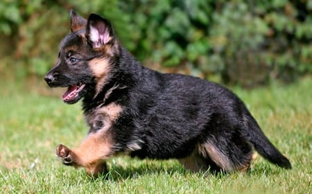cachorro de pastor alemán corriendo