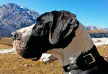 Perro de raza Gran Danés en la montaña