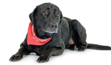 perro con pañuelo repelente de pulgas