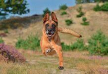 pastor-belga-malinois-corriendo