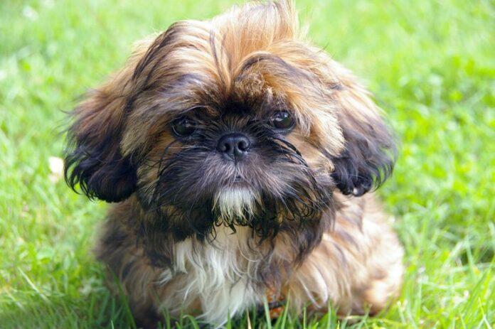 perro-de-raza-Shih-Tzu