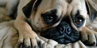 perro llora