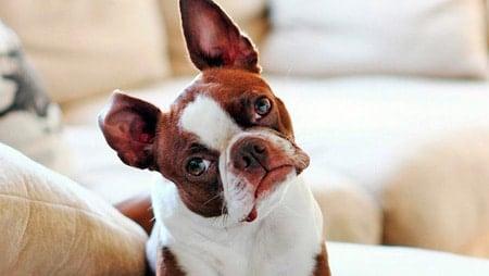 perro ladea cabeza mientras hablas