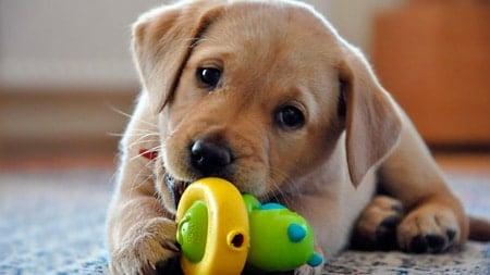 perro jugando con mordedor