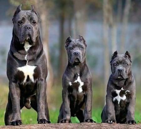 cachorro y adulto de cane corso
