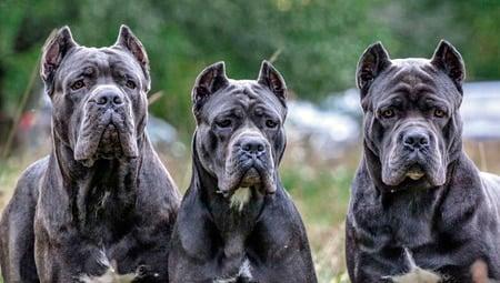 grupo de perros mastin italiano