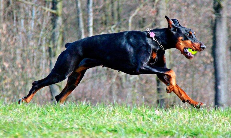 Perro Dóberman jugando a la pelota