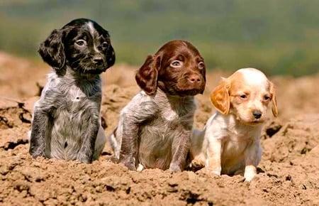 cachorros de Bretón Español