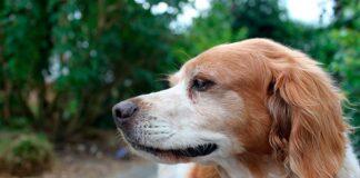 perro-bretón-español