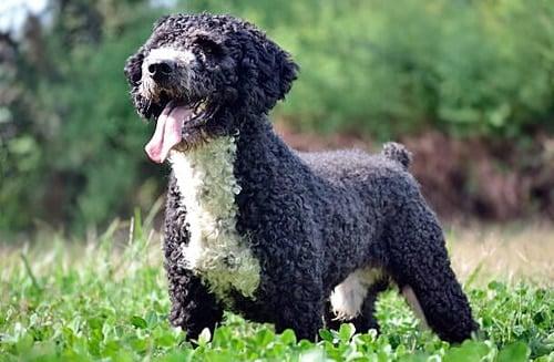 Perro español de agua negro y blanco