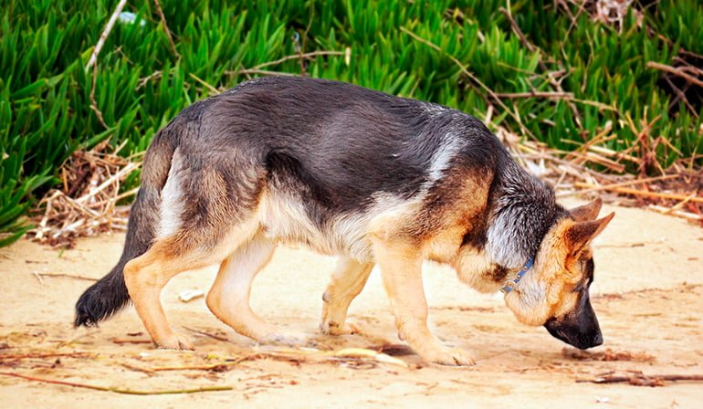 "dog-sniffing-a-trail ""width ="" 770 ""height ="" 448 ""srcset ="" https://soyunperro.com/wp-content/uploads/2017/09/perro-olfateando-un-rastro.jpg 770w, https://soyunperro.com/wp-content/uploads/2017/09/perro-olfateando-un-rastro-300x175.jpg 300w, https://soyunperro.com/wp-content/uploads/2017/09/perro -smelling-a-trace-768x447.jpg 768w, https://soyunperro.com/wp-content/uploads/2017/09/perro-olfateando-un-rastro-696x405.jpg 696w, https://soyunperro.com /wp-content/uploads/2017/09/perro-olfateando-un-rastro-722x420.jpg 722w ""tailles ="" (largeur max: 770px) 100vw, 770px"