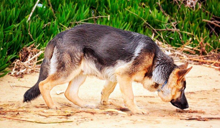 Comment est l'odeur des chiens?