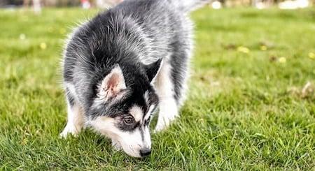 perro buscando olores