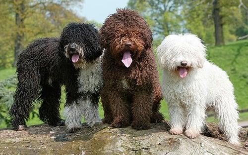 perros de agua español