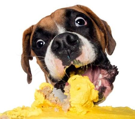 perro comiendo pastel