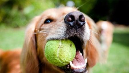 perro que trae la pelota