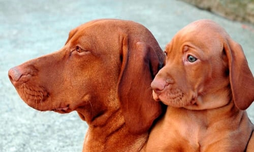 cachorro de braco húngaro