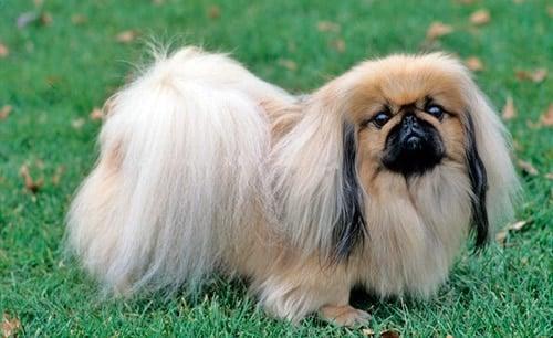 pequeño perro Pekinés