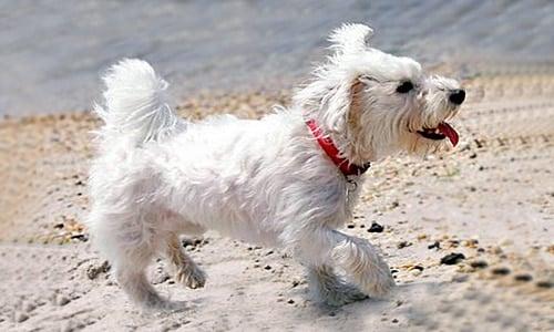 bichón maltés jugando en la playa