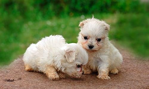 cachorros de bichon maltes europeo
