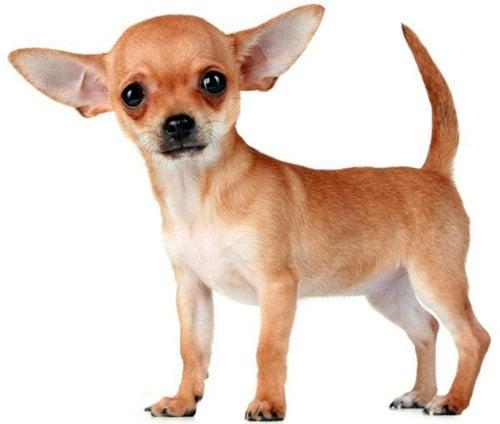 Cachorro de perro chihuahua