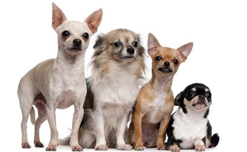 tipos de perro chihuahua