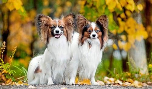 pareja de perros papillon