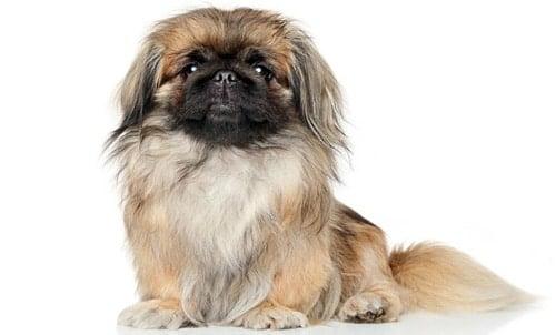perro de raza Pekinés