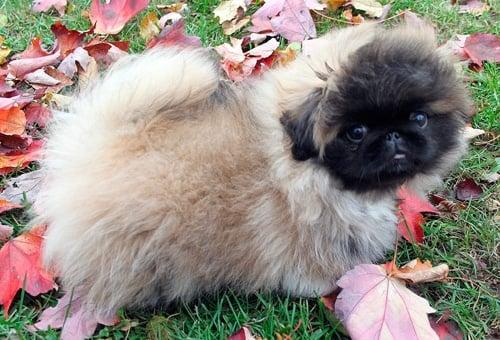 cachorro de pekinés
