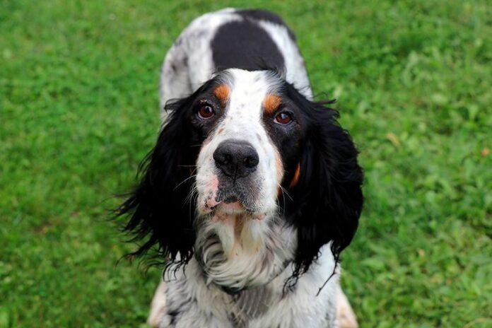 dog-Setter-English