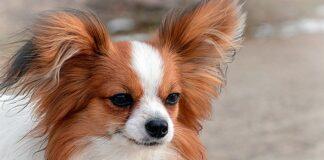 perro-papillón-con-grandes-orejas